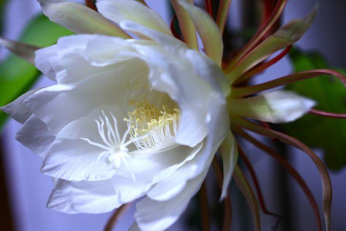 夜の女王、月下美人が咲きました。_d0148902_21191150.jpg