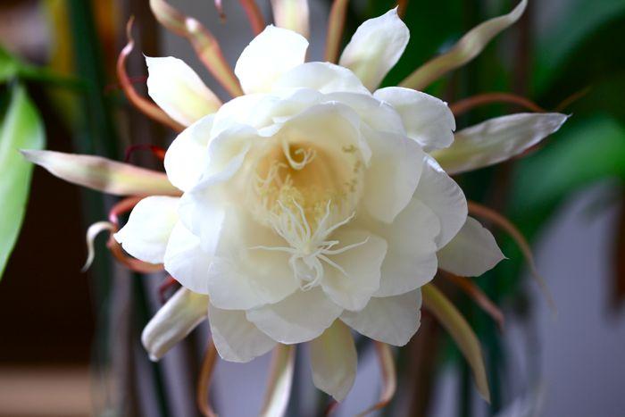 夜の女王、月下美人が咲きました。_d0148902_21215994.jpg