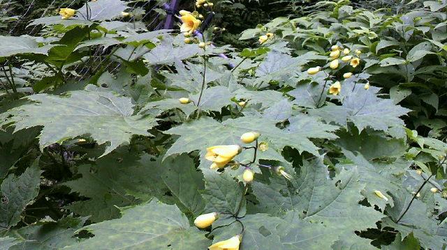 やっと キレンゲショウマに会いに行きました。キツリフネ・ギンバイソウ・カニコウモリ・・・。たくさんの花がにぎやかに咲いていました。_c0089831_16415975.jpg