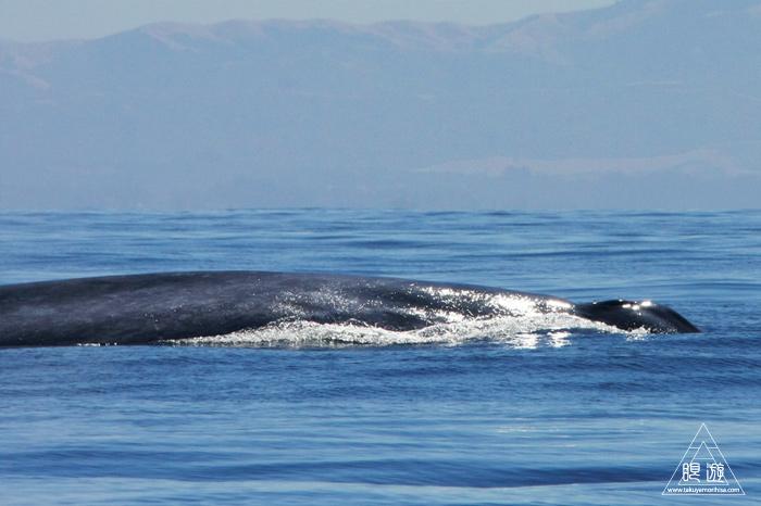 シロナガスクジラの画像 p1_35