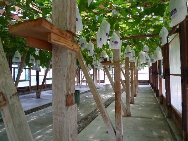 ぶどうを求めて「五果園」さん  (滋賀県東近江市)_d0108737_1426730.jpg