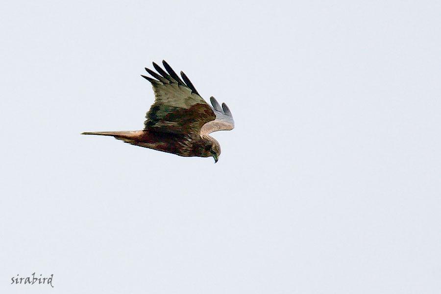 チュウヒ(冬鳥 全長:雄約48㎝、雌約58㎝)_d0238245_11524872.jpg