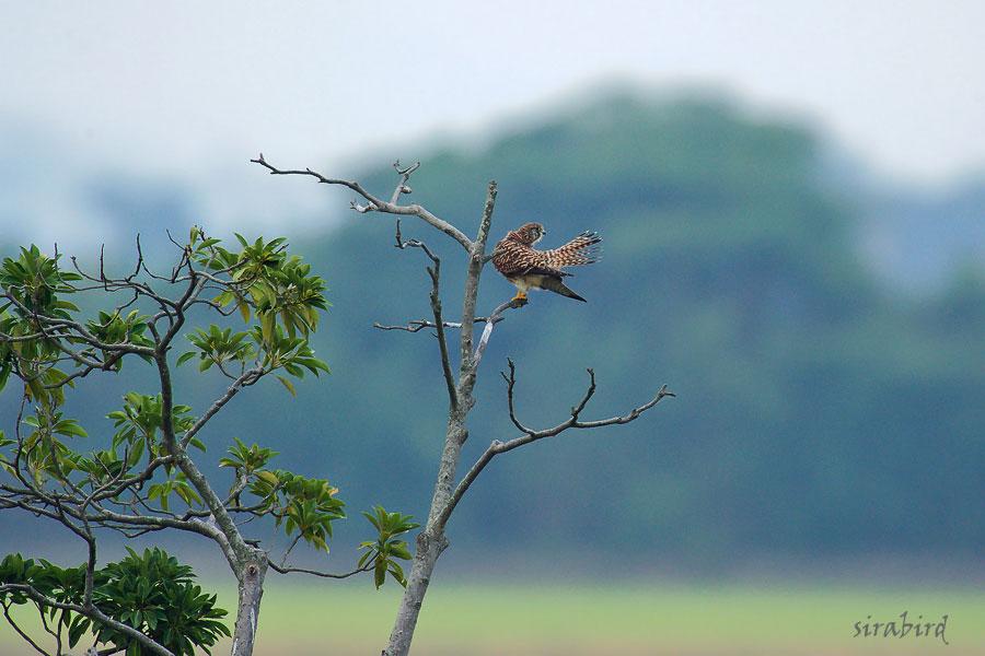 チョウゲンボウ(冬鳥 長元坊、全長:雄約33㎝、雌約38㎝)_d0238245_11582313.jpg
