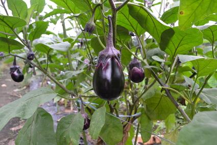 EM農法栽培のナス_e0228938_16584487.jpg