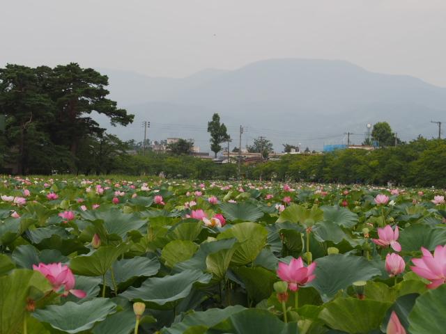 故郷の風景 高田公園の蓮_f0024992_8395116.jpg