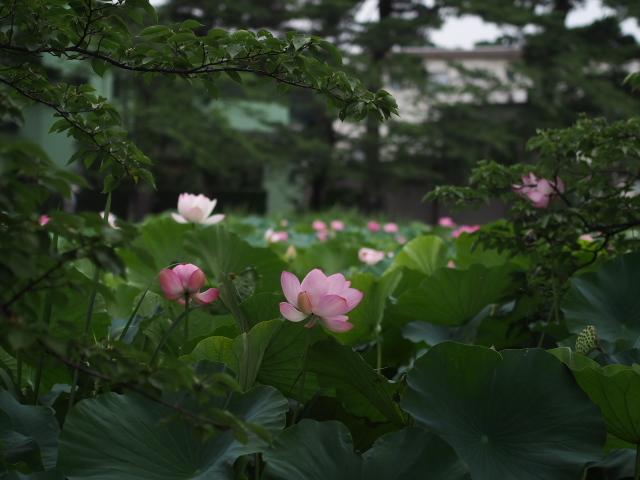 故郷の風景 高田公園の蓮_f0024992_8401687.jpg