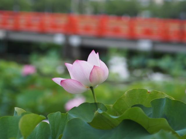 故郷の風景 高田公園の蓮_f0024992_8403095.jpg