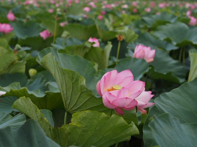 故郷の風景 高田公園の蓮_f0024992_8404636.jpg