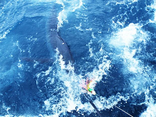 関西のT艇さんからディーパーキャッチの画像をいただきました。【カジキ・マグロトローリング】_f0009039_10192232.jpg