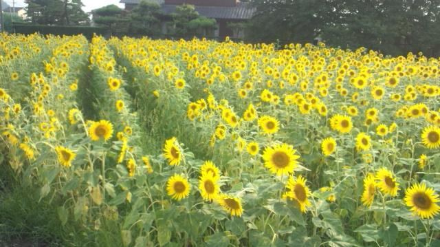 ひまわり畑(中くらい)西条市丹原町今井…2012/8/17_f0231709_7515431.jpg