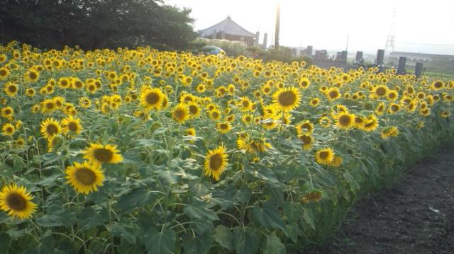ひまわり畑(中くらい)西条市丹原町今井…2012/8/17_f0231709_751876.jpg