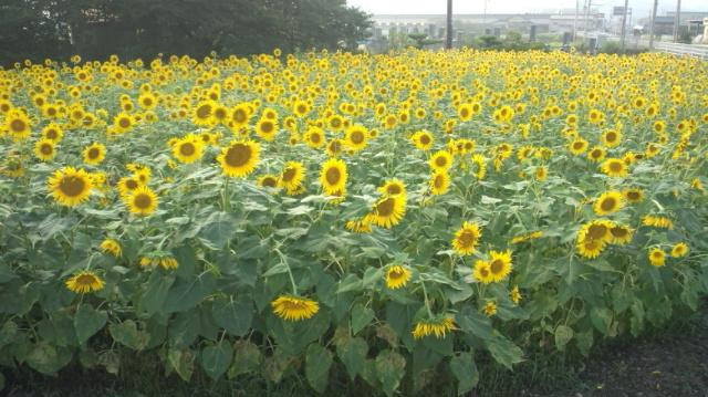 ひまわり畑(中くらい)西条市丹原町今井…2012/8/17_f0231709_7525997.jpg