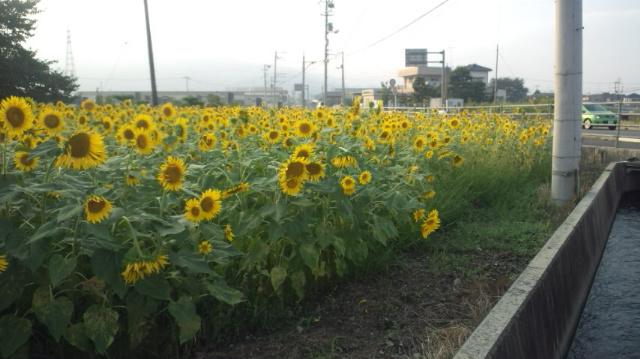 ひまわり畑(中くらい)西条市丹原町今井…2012/8/17_f0231709_861346.jpg