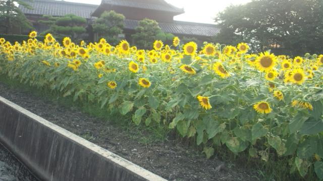 ひまわり畑(中くらい)西条市丹原町今井…2012/8/17_f0231709_87998.jpg