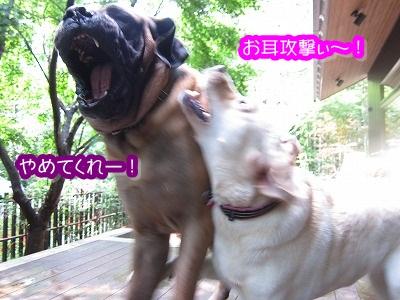 遊びながら甘噛み_e0192217_16152454.jpg