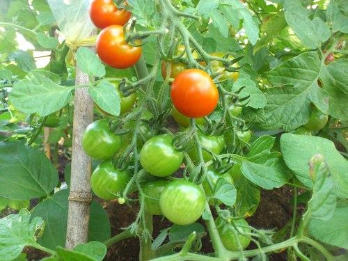 食べ頃のトマト_b0106766_23393936.jpg