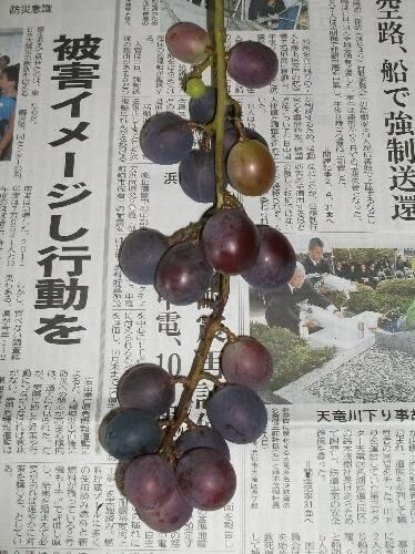 葡萄のコガネムシ被害 _f0018078_17423521.jpg