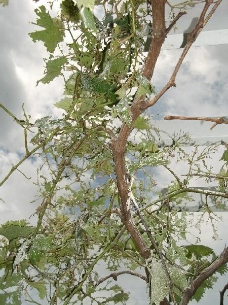 葡萄のコガネムシ被害 _f0018078_17425030.jpg