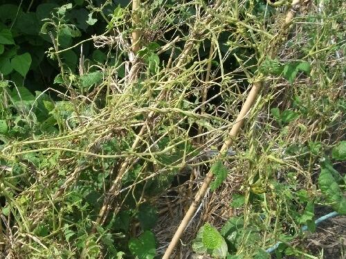 葡萄のコガネムシ被害 _f0018078_17431689.jpg