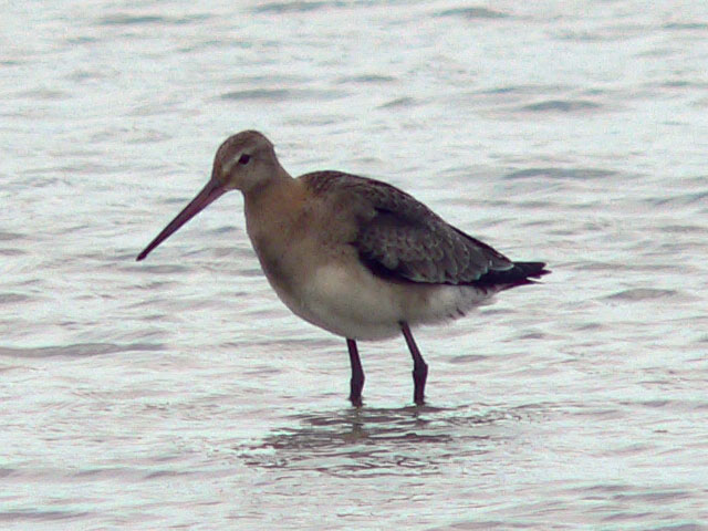 探鳥:海辺の鳥_c0136361_1723262.jpg