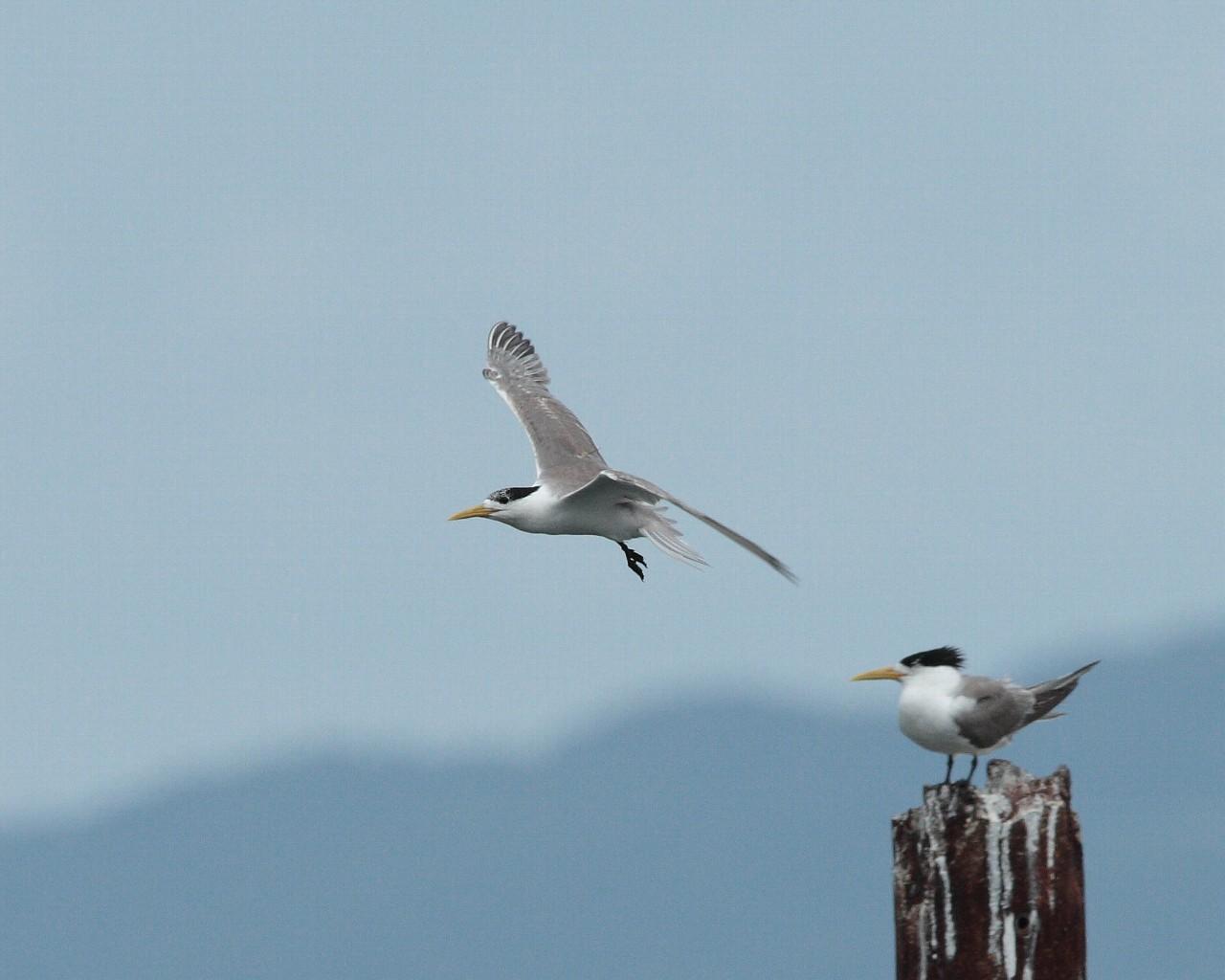 帰省の途中下車の鳥: オオアジサシ_f0105570_21121228.jpg