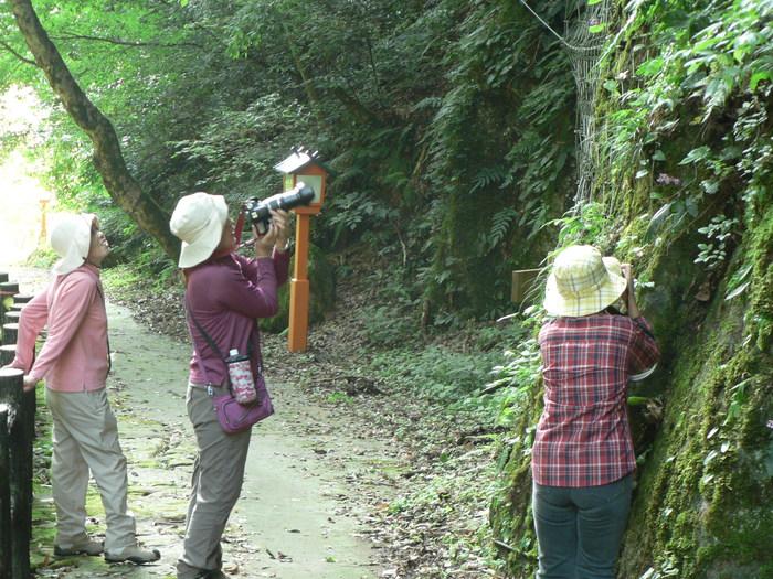 苔岩に咲く イワタバコ_f0219710_11235481.jpg