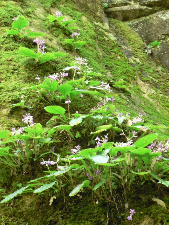 苔岩に咲く イワタバコ_f0219710_11245733.jpg