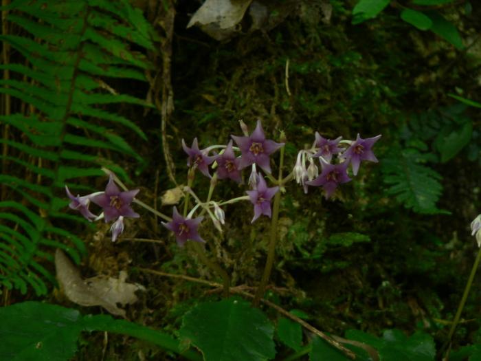 苔岩に咲く イワタバコ_f0219710_11275660.jpg