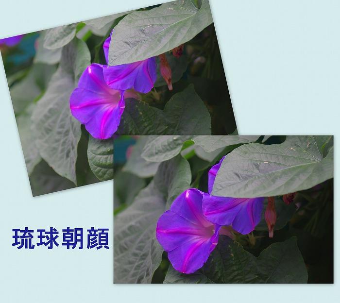 琉球朝顔_d0147812_1813323.jpg