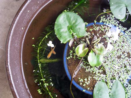 睡蓮鉢の中を涼しそうに泳ぐ、めだか(楊貴妃)たち。_e0120614_2303119.jpg