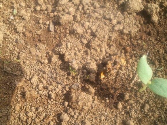 秋野菜の種まき、苗の植え付け....暑いですが..._b0137932_19441374.jpg