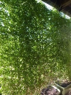 お盆休みの緑のカーテン_f0059988_10104247.jpg