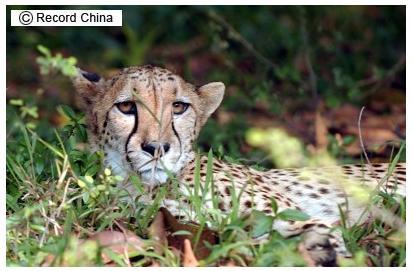 中国で発見された「世界最古」のチーターの化石はプラスチックと他の動物の歯で作られた模造品だった_c0025115_1913921.jpg