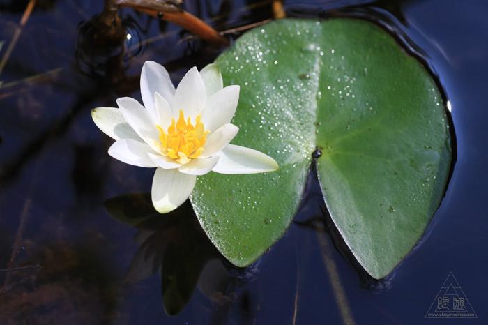 258 赤名湿地 ~ヒツジグサの花~_c0211532_191397.jpg