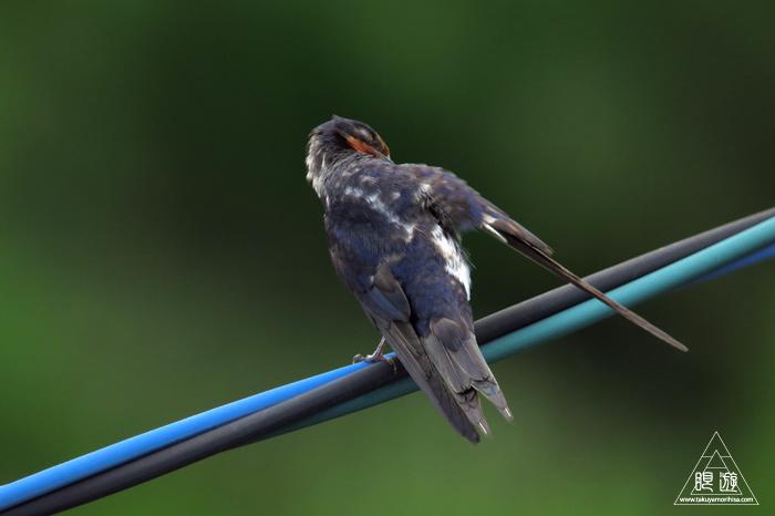 259 安浦町 ~ツバメの若鳥~_c0211532_19364750.jpg