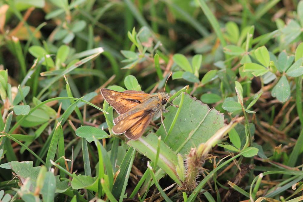 キマダラモドキ  ♀雌の開翅  2012.8.18長野県_a0146869_3195285.jpg