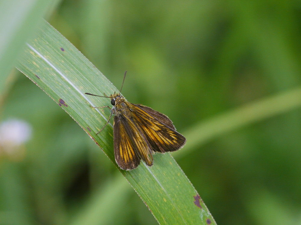 キマダラモドキ  ♀雌の開翅  2012.8.18長野県_a0146869_331396.jpg