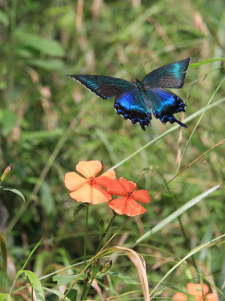 キマダラモドキ  ♀雌の開翅  2012.8.18長野県_a0146869_3573031.jpg