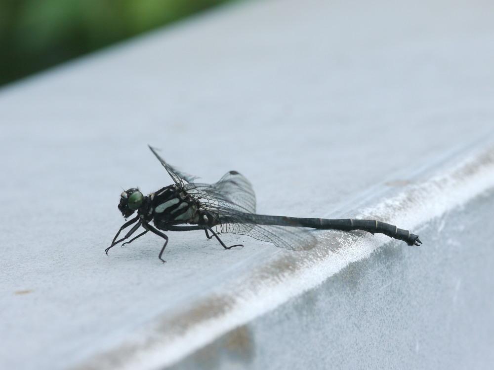 キマダラモドキ  ♀雌の開翅  2012.8.18長野県_a0146869_4182282.jpg