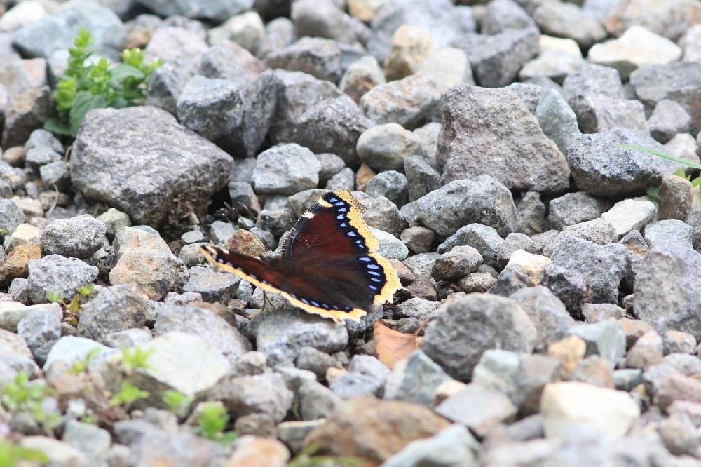 キマダラモドキ  ♀雌の開翅  2012.8.18長野県_a0146869_4224259.jpg