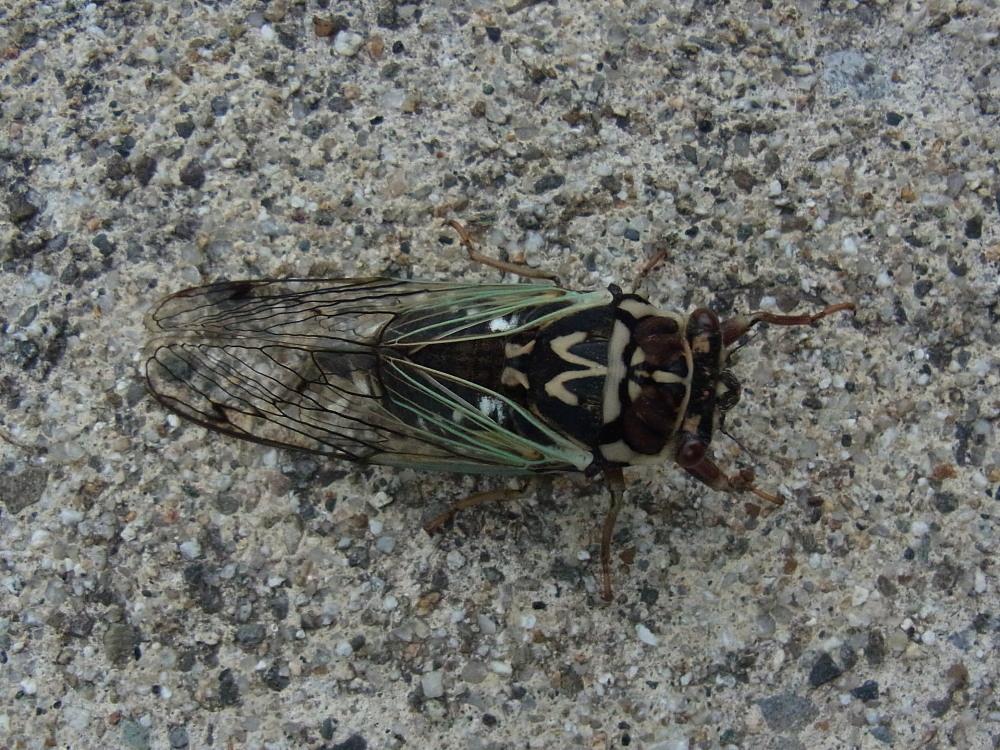 キマダラモドキ  ♀雌の開翅  2012.8.18長野県_a0146869_4254313.jpg