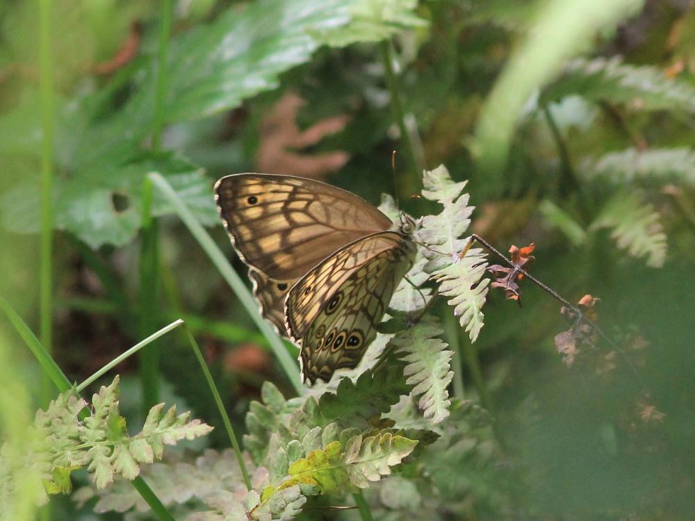 キマダラモドキ  ♀雌の開翅  2012.8.18長野県_a0146869_482591.jpg