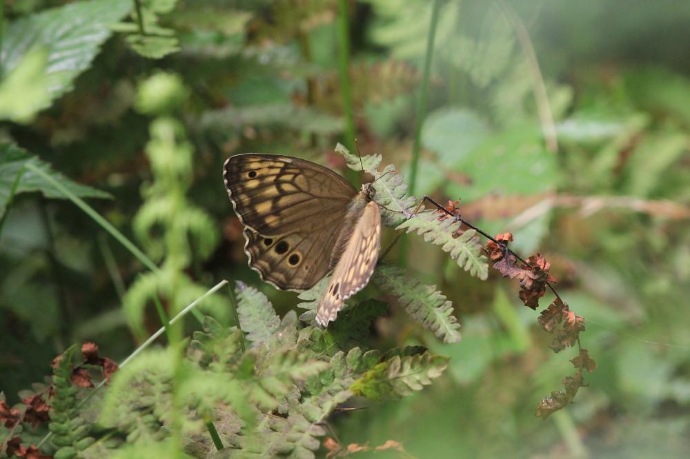 キマダラモドキ  ♀雌の開翅  2012.8.18長野県_a0146869_485362.jpg