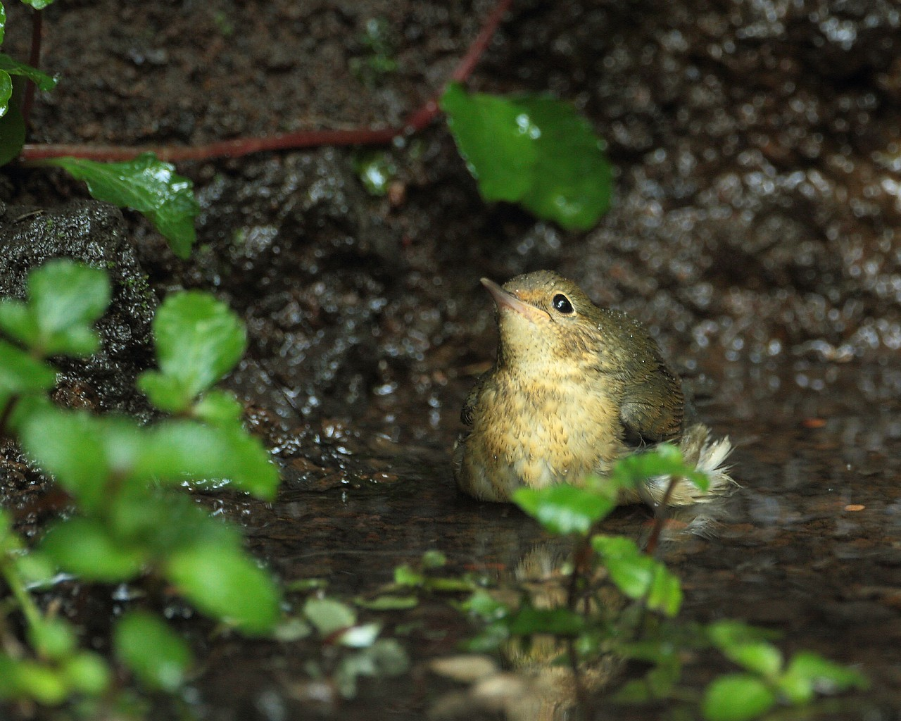 涼しげな小鳥の水浴び(可愛い野鳥のフリー壁紙)_f0105570_2133949.jpg