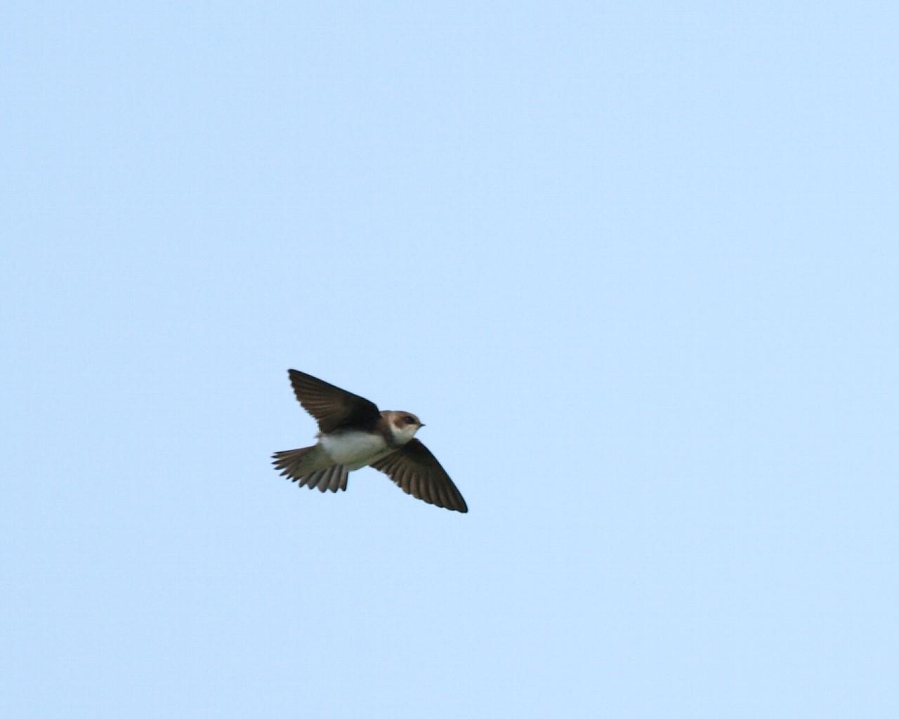 2012年夏、道東の野鳥たち(その15): ショウドウツバメ_f0105570_21274862.jpg