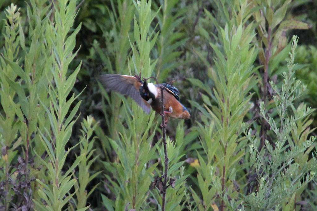 カワセミ・ウツギの枯れ葉を食べます/大接近前夜の火星・木星&三日月_b0024798_4532499.jpg