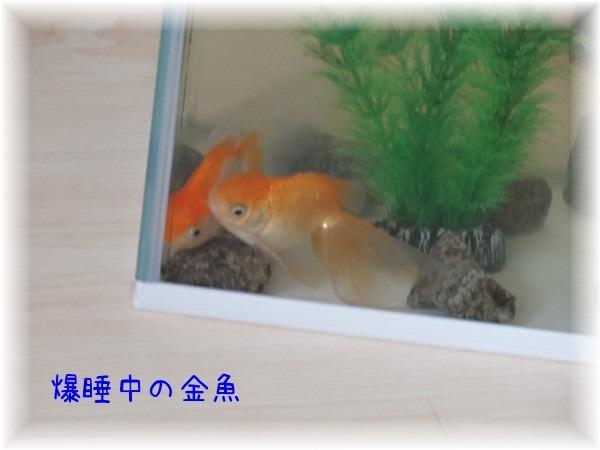 爆睡金魚_d0165645_19334842.jpg