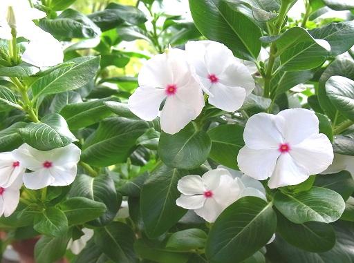 夏の花、日々草_c0192215_9115468.jpg