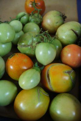 我が家のトマト本日終了_f0155431_21483117.jpg