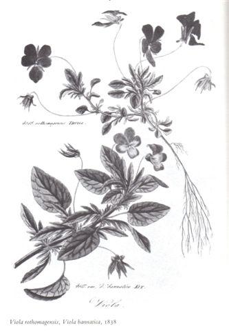 ボタニカルアート ---Viola---_b0137969_1713896.jpg